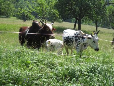 Zwerg-Zebus beim Hödl